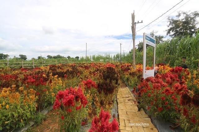 kebun bunga celonesia