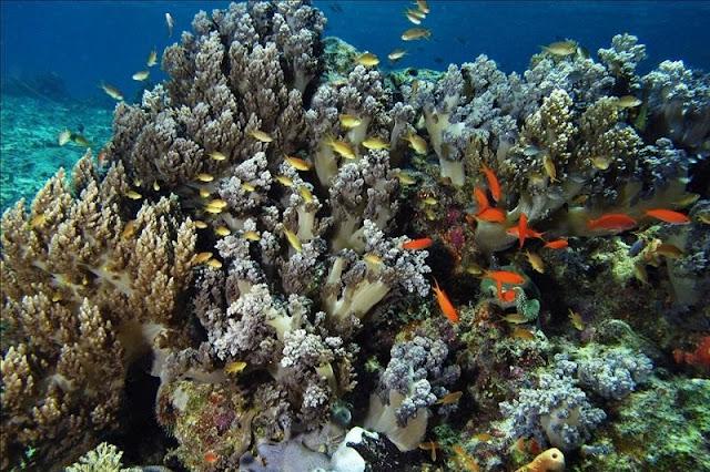 Terumbu karang yang eksotis teluk maumere