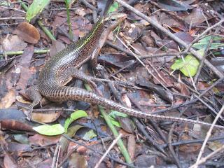 lizard in ankarana national park