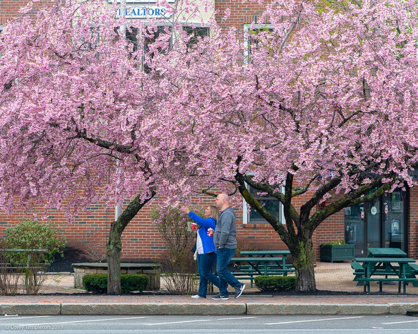 Portland, Maine USA May 2019 photo by Corey Templeton. Stopping to smell the cherry blossoms on Commercial Street.