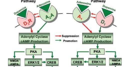 Behavioral Activation Blog: Adenosine-dopamine Receptor