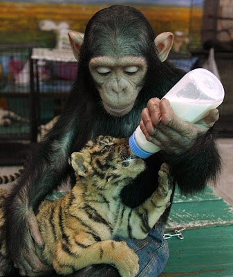 Female Chimp feeding Baby Tiger