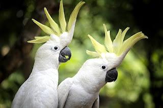 Cara Merawat Burung Kakatua Jambul Kuning dan Putih dengan Benar