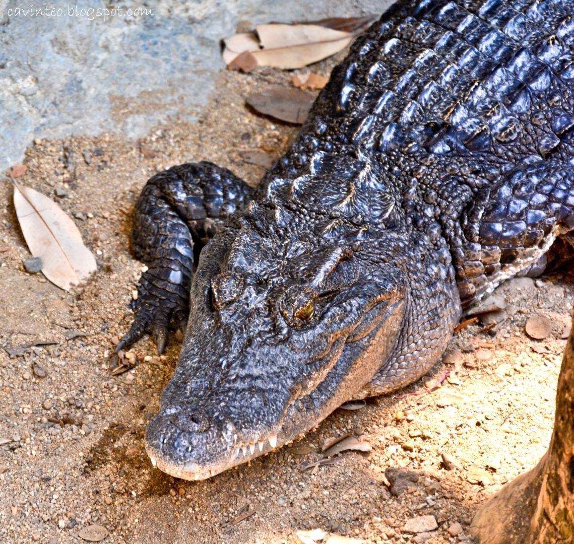 Entree Kibbles Cleaning The Crocodile Den Dusit Zoo Bangkok