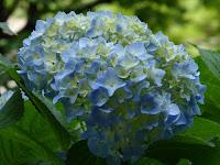 山田池公園 あじさい園 咲きはじめのアジサイ