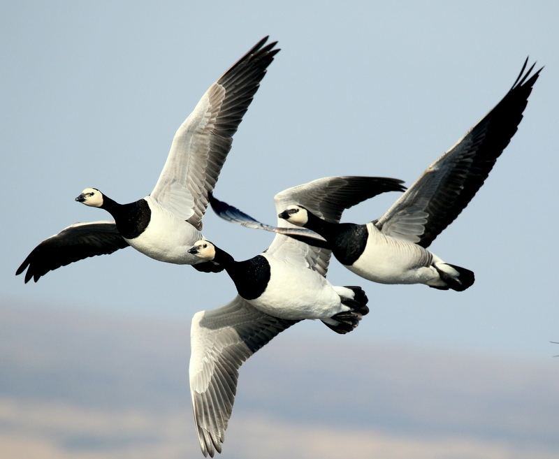 Fly Flatts Barnacle Geese