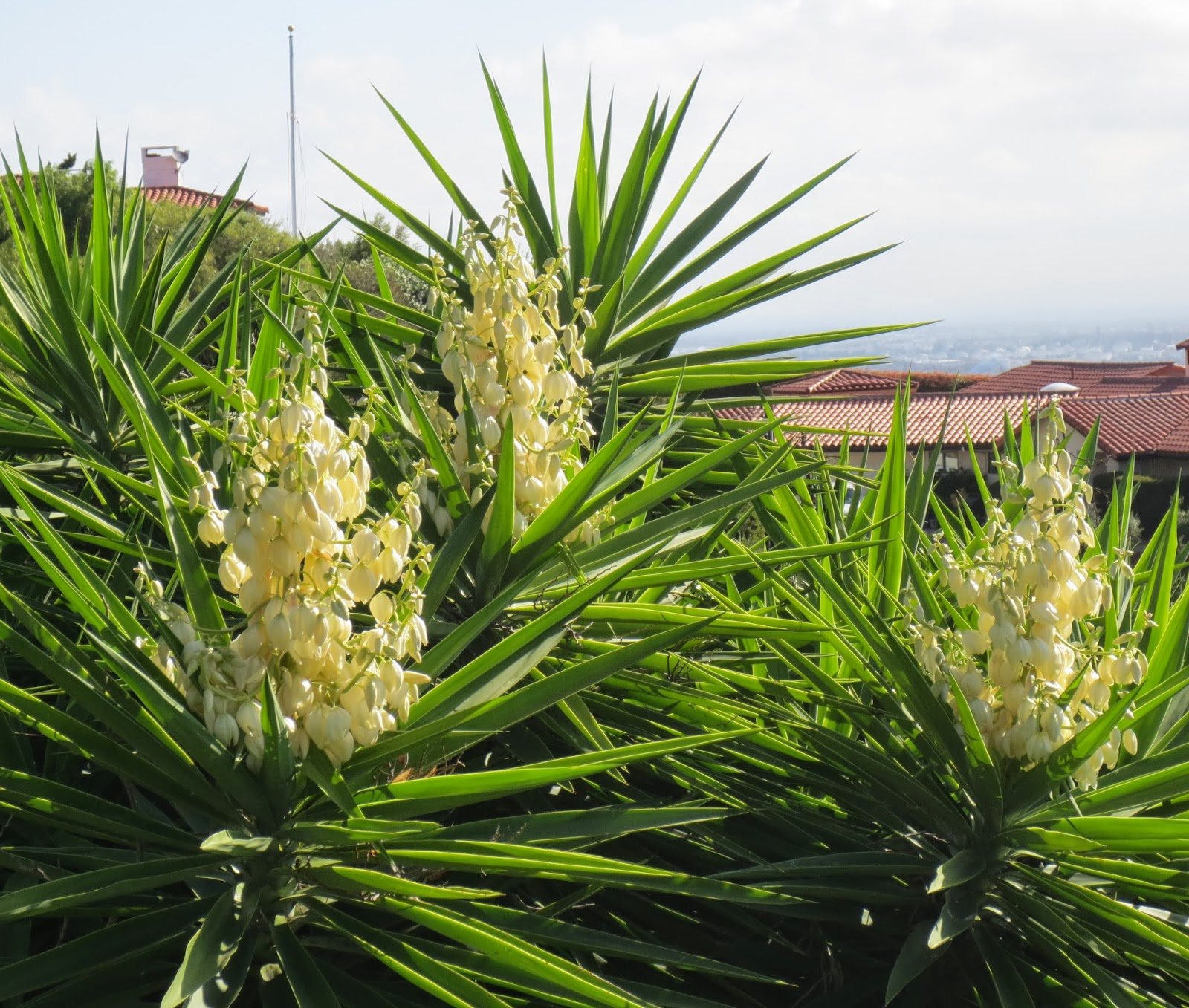 Yucca Elephantipes Late To The Garden Party Wordless Wednesday Supersized