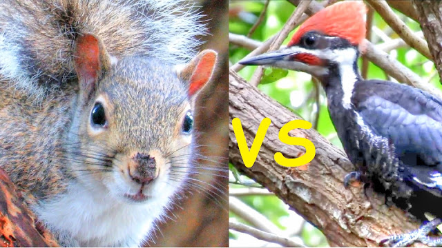 Squirrel Attacks Pileated Woodpecker