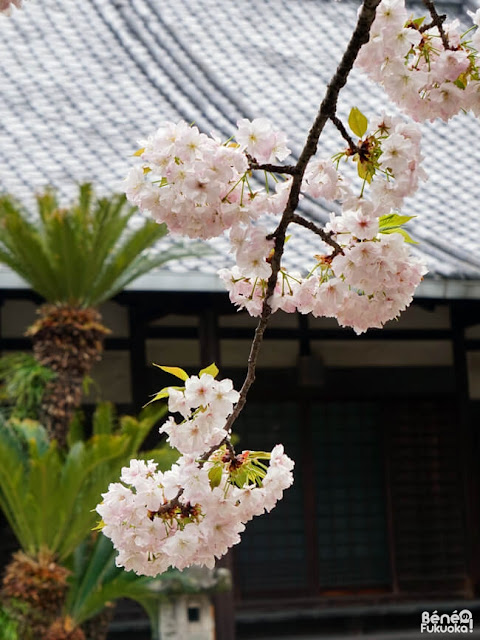 順心寺の桜、福岡