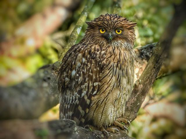 Owls of Corbett National Park