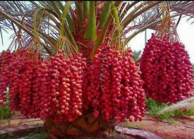 Potensi Kebun Kurma di Indonesia Bisa Tumbuh Subur dan Berbuah Lebat
