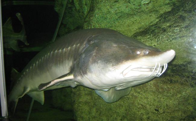 10 Ikan Terbesar Di Dunia