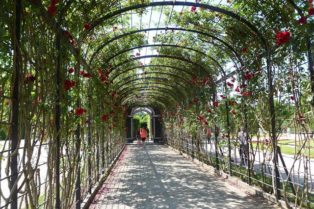 Pergola obrośnięta różami w Schonbrunn