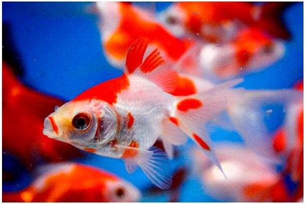 Allendale Aquatic Nursery & Koi: Fish