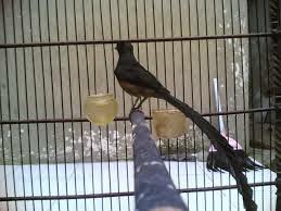 Types Of Bird Murai In Indonesia Murai Batu Nias