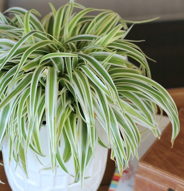 Air Purifying Plants For Bathroom: Renee's Ravishing Recipes And Health Facts: 6 Air