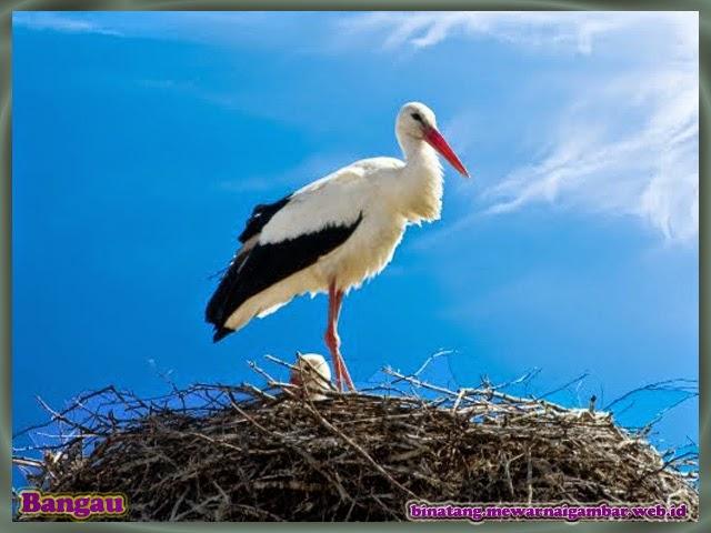 gambar burung bangau