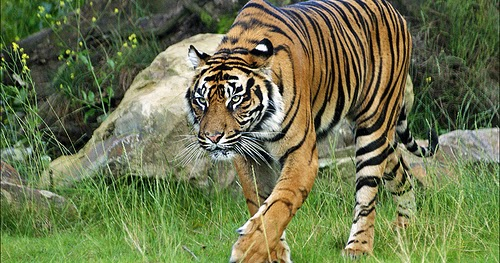 Facts about White Tiger: Siberian Tiger is the biggest cat ...  |Biggest White Tiger In The World