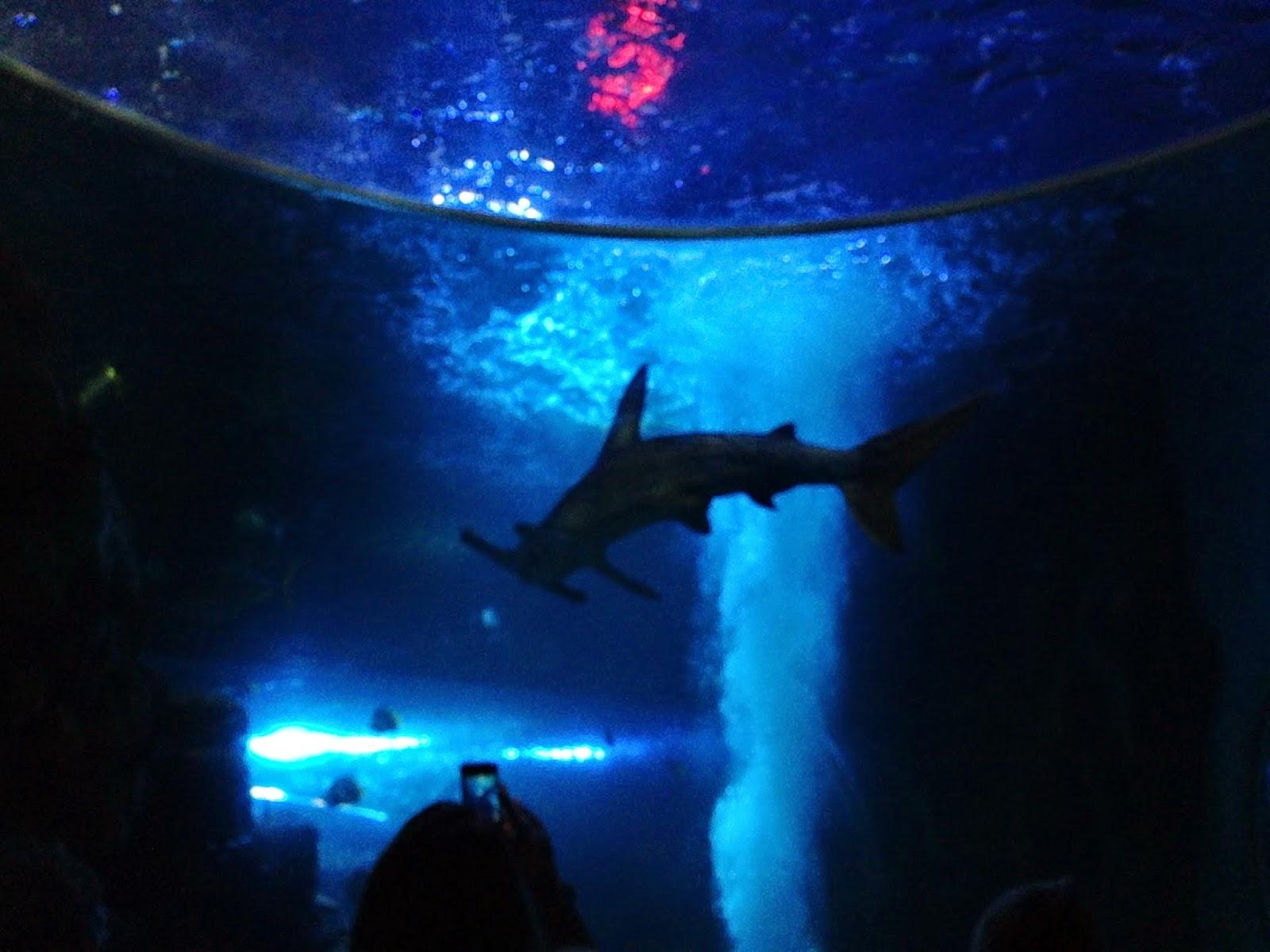 hammerhead shark 2