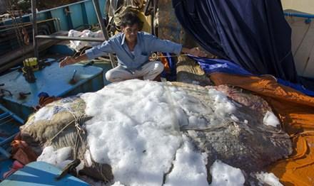 Quảng Ngãi: Bắt được cá lạ hình thù kỳ quái nặng 600kg