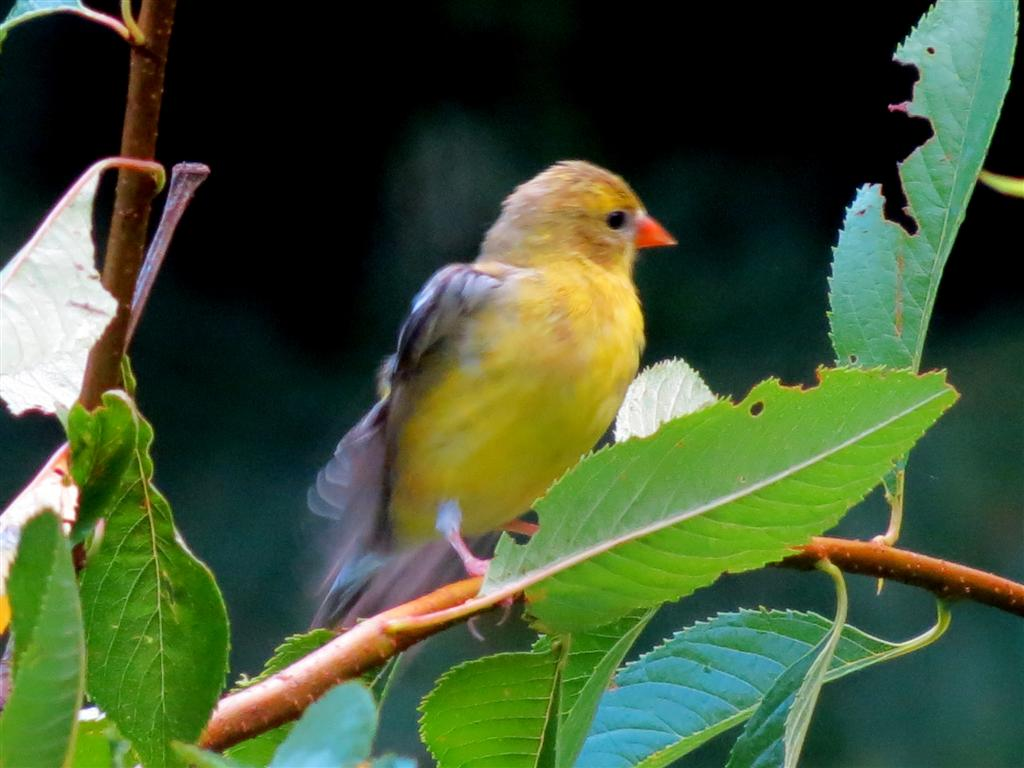 Their Beak Is Small Conical And Pink For Most Of The Year But Will Turn A Bright Orange With Spring Molt Goldfinch Eats Insects Dines On