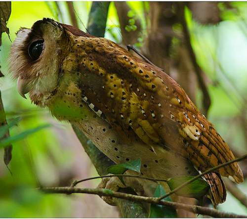 Indian birds - Image of Sri Lanka bay owl - Phodilus assimilis