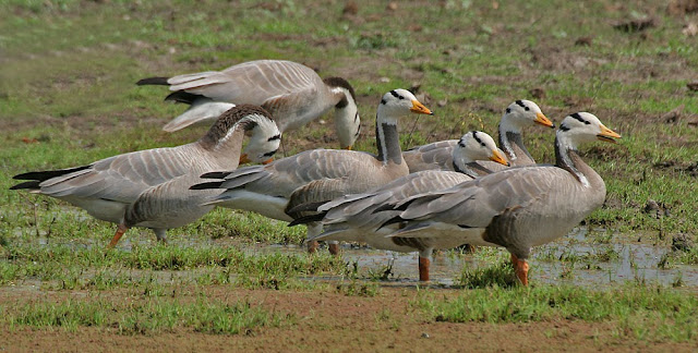 Bar-headed Geese at Bharatpur Bird Sanctuary