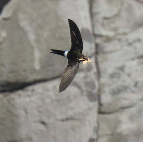Birds of India - Photo of Pacific Swift - Apus pacificus