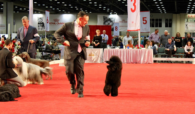 AKC National Championship Dog Show Royal Canin #AKCDogShow #TheBigDogShow #RoyalCaninDogs