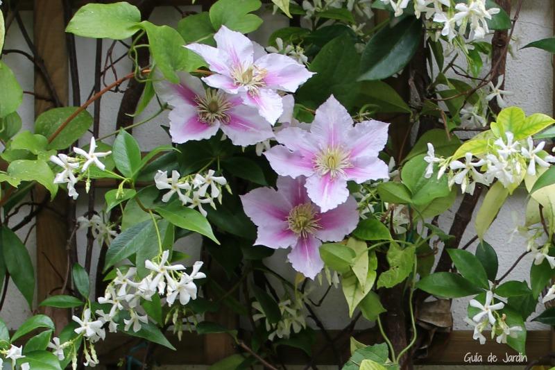 Clemátide y trachelospermum