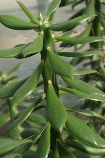 Quiabentia verticillata - Quiabentia chacoensis