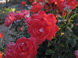 More red roses.