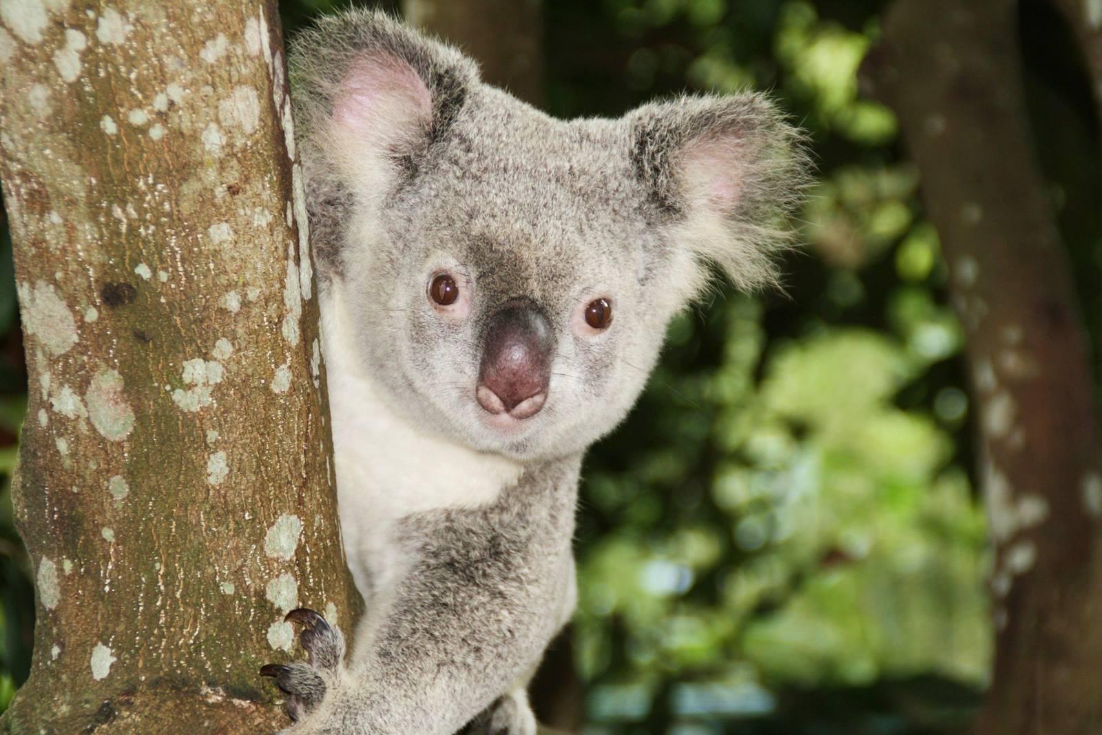 澳洲-昆士蘭-布里斯本-黃金海岸-動物園-龍柏動物園-Lone-Pine-Koala-Sanctuary-可倫賓-庫倫賓野生動物保護區-Currumbin-Wildlife-Sanctuary-澳洲動物園-推薦-必玩-必去-自由行-景點-旅遊-Australia-Zoo