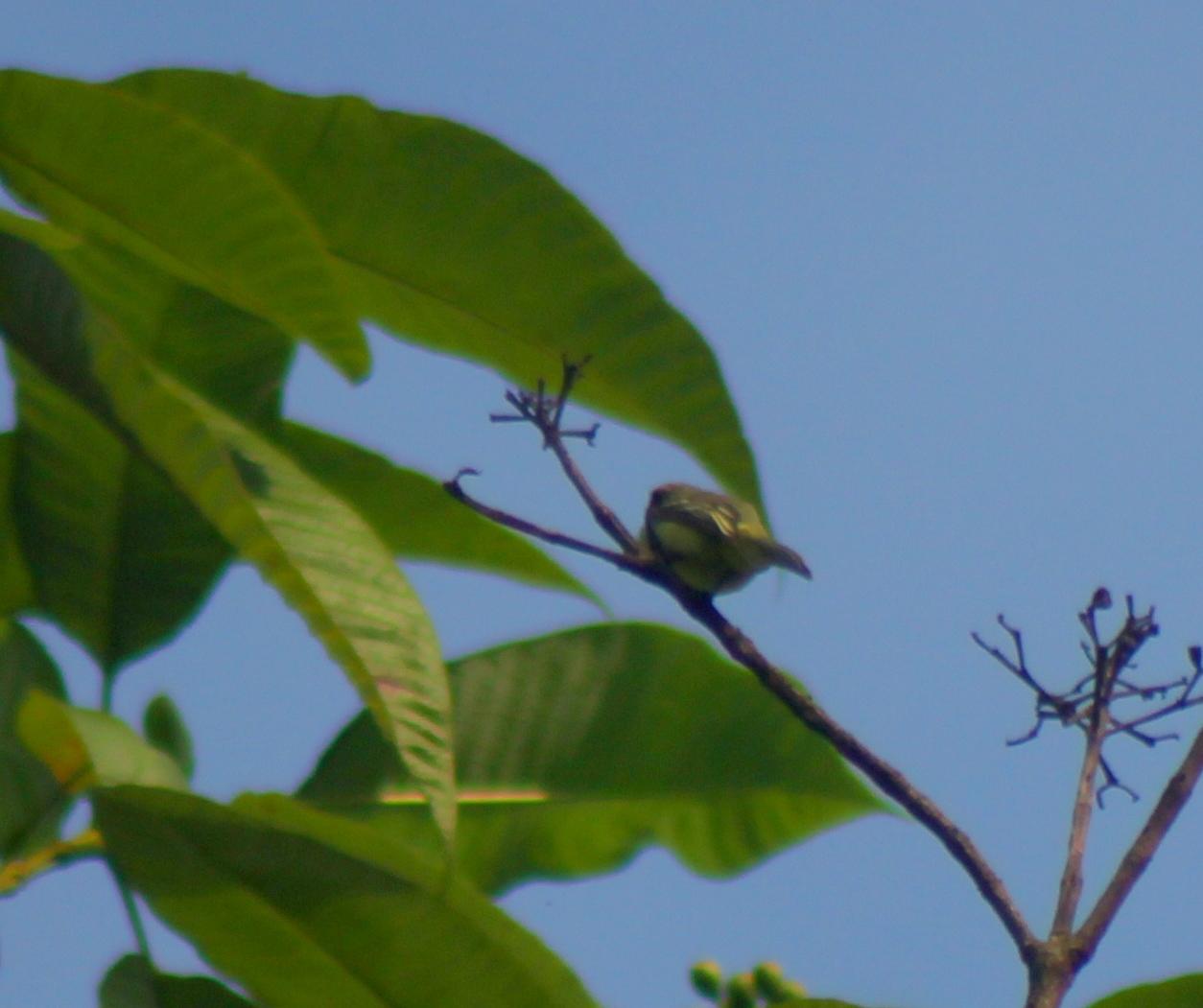 COA Tintica - Birds of Villa La Angostura