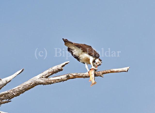 Osprey devouring a trout
