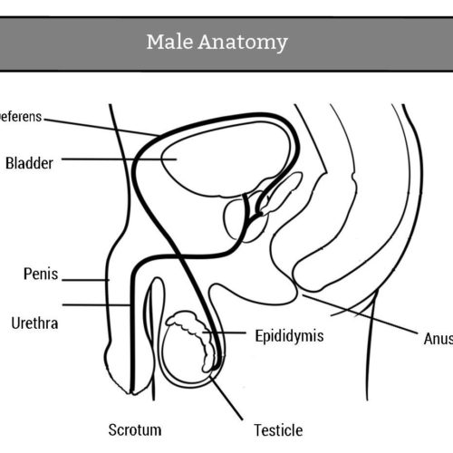 Natural science for 5 and 6 noviembre 2017 httpbbcbitesizeks3scienceorganismsbehaviourhealth reproductionrevision1 activity male reproductive system ccuart Gallery