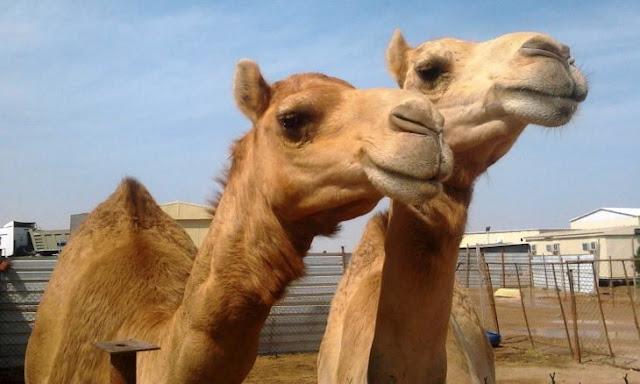 Les gana la calentura a par de camellos y paran el tráfico