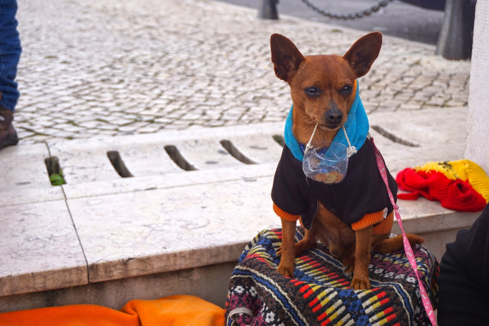 A dog holding a collections basket with it's busking owner in Lisbon