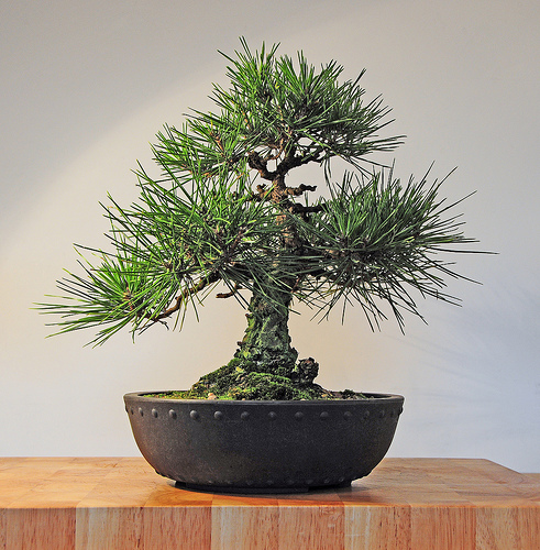 Bonsai Tree For Your Garden Designs Of Home And Garden