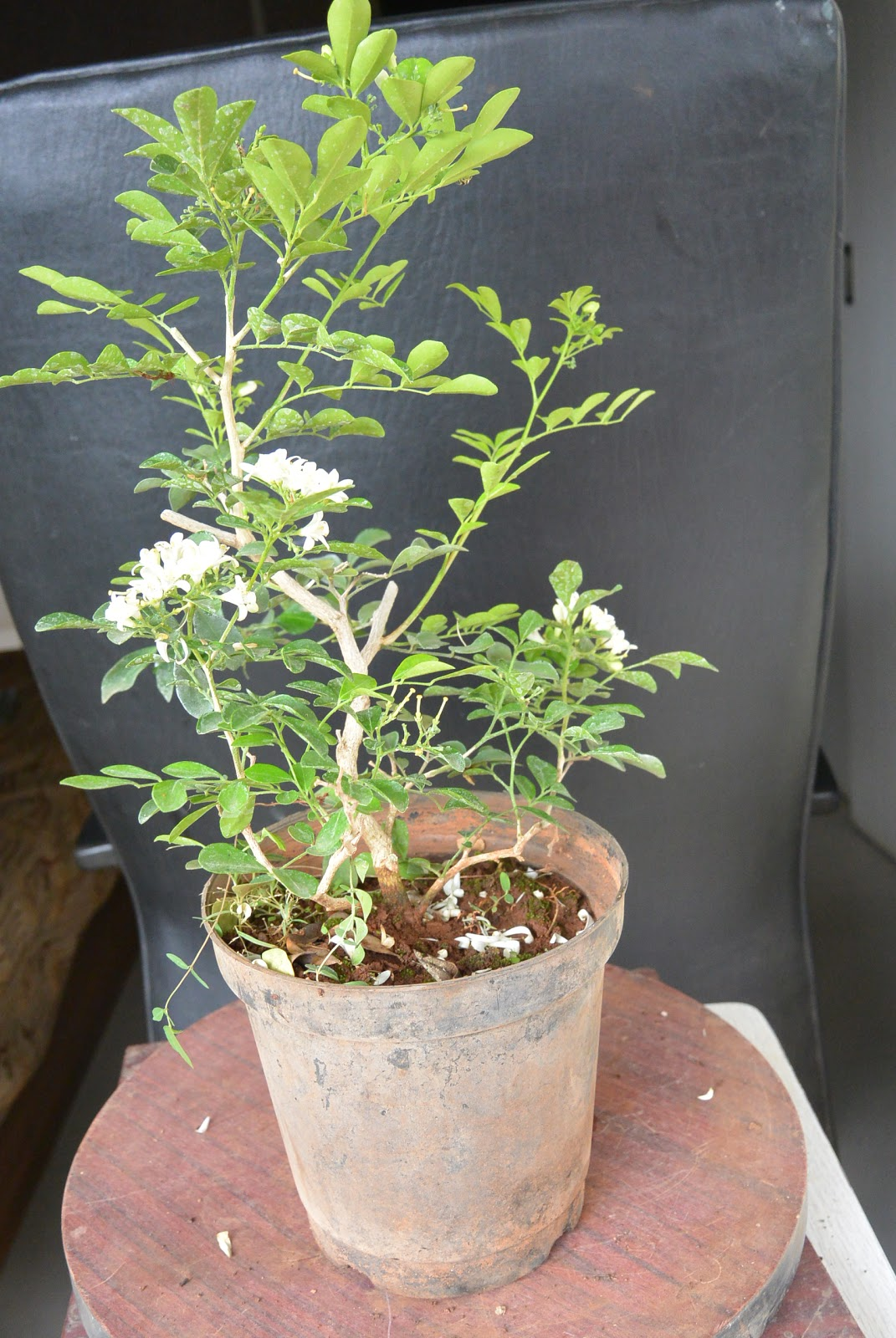 Kapilaascreations Shaping Of Nursery Plant Murraya In To Bonsai Wiring Did New By Removing Old Wires The Branches Now Changed Style Formal Upright I Am Waiting See My Fill With White Bright