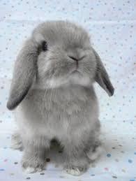 Bahasa Inggrisnya telinga kelinci