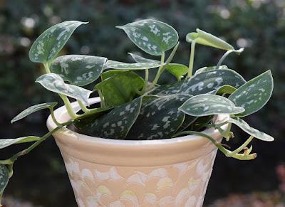 Tukang taman surabaya tanaman hias Philodendron