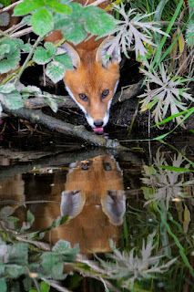 biodiversity - Fox with reflection in water