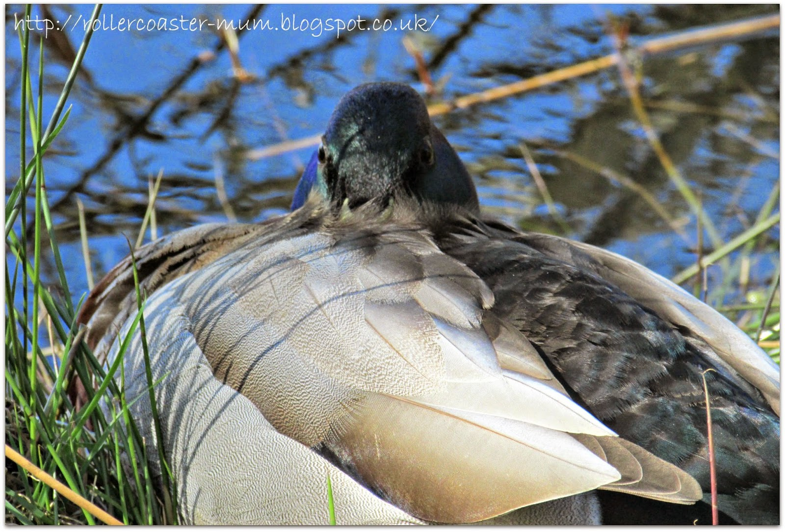 sleepy mallard duck