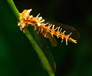 Orange dragonfly sitting on a branch with white spikes protruding all over his body