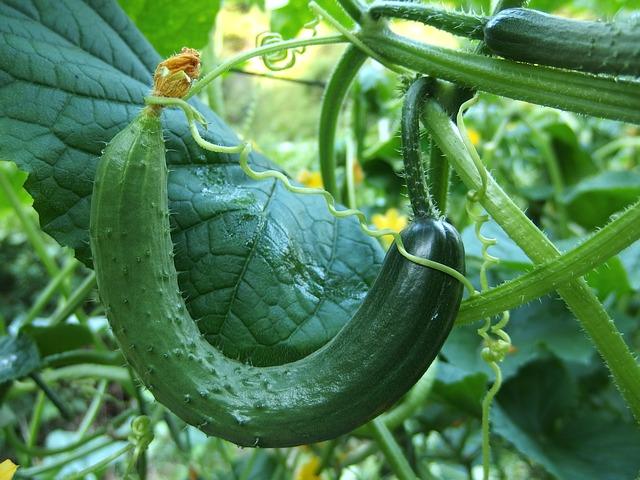 Les variétés du Concombre