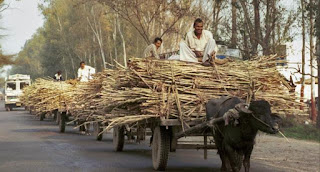 sugarcane-price-increased-to-255-rupees-per-quintal