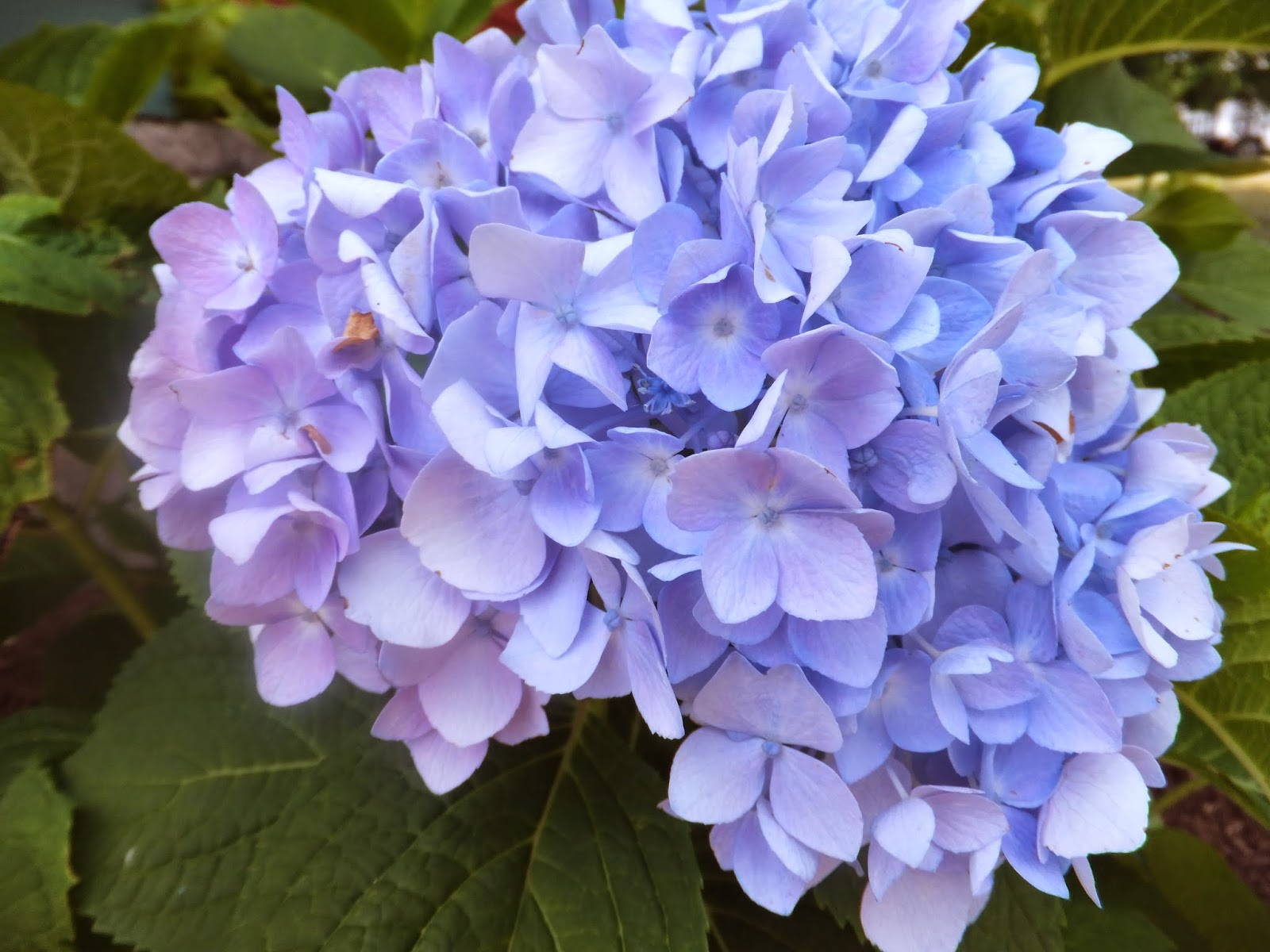 Hortensia Endless Summer Kopen Julie The Garden Fairy Hydrangea And Marriage Help