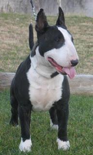 razas de perros medianos bull terrier
