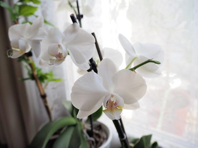 Orchidée en fleur